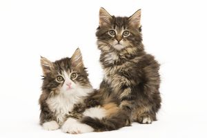 LA-5913 Cat - Norwegian Forest Cat kittens