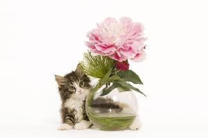 LA-5914 Cat - Norwegian Forest Cat kitten with vase & flowers