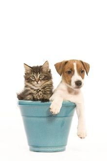 LA-5916 Cat & Dog - Norwegian Forest Cat kitten with Jack Russell puppy in blue flowerpot