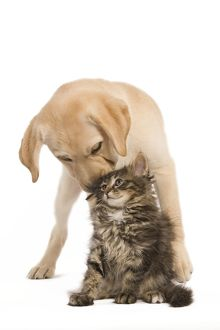 LA-5917 Cat & Dog - Labrador puppy 'kissing' Norwegian Forest Cat kitten on head
