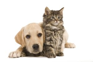 LA-5918 Cat & Dog - Labrador puppy and Norwegian Forest Cat kitten