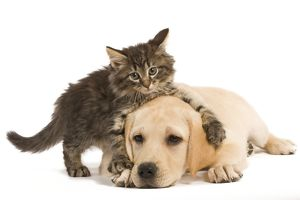 LA-5920 Cat & Dog - Norwegian Forest Cat kitten climbing on Labrador puppy in studio