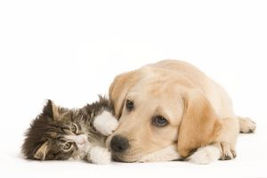 LA-5922 Cat & Dog - Labrador puppy and Norwegian Forest Cat kitten lying in studio
