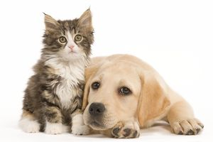 LA-5923 Cat & Dog - Labrador puppy and Norwegian Forest Cat kitten in studio