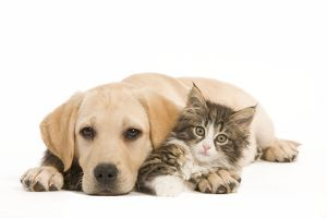 LA-5924 Cat & Dog - Labrador puppy and Norwegian Forest Cat kitten lying in studio