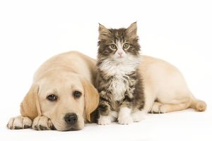 LA-5925 Cat & Dog - Labrador puppy and Norwegian Forest Cat kitten in studio