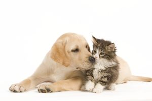 LA-5926 Cat & Dog - Labrador puppy and Norwegian Forest Cat kitten in studio