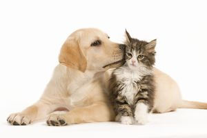 LA-5927 Cat & Dog - Labrador puppy 'kissing' Norwegian Forest Cat kitten in studio