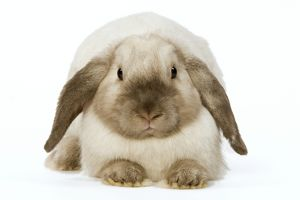 LA-5951 Rabbit - French Lop / Belier