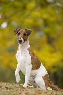 LA-5978 Dog - Smooth Fox Terrier