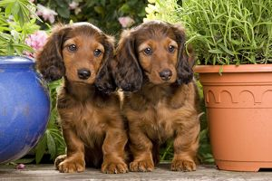 LA-6007 Long-Haired Dachshund / Teckel Dog - by flowerpots