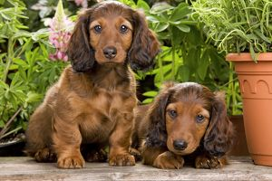 LA-6009 Long-Haired Dachshund / Teckel Dog - puppies by flowerpots.