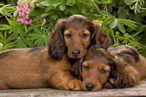 LA-6011 Long-Haired Dachshund / Teckel Dog - two puppies.