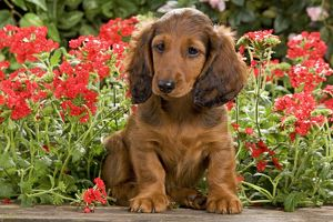 LA-6013 Long-Haired Dachshund / Teckel Dog - puppy with flowers.