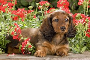 LA-6014 Long-Haired Dachshund / Teckel Dog - puppy with flowers