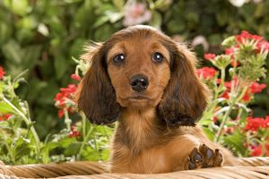 LA-6015 Long-Haired Dachshund / Teckel Dog - puppy with flowers.