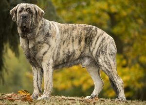 LA-6043 Dog - Spanish Mastiff. Also known as Mastin Espanol