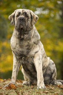 LA-6044 Dog - Spanish Mastiff. Also known as Mastin Espanol