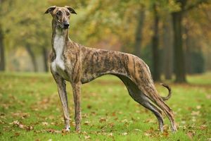 LA-6076 Dog - Hungarian Greyhound. Also known as Magyar Agar