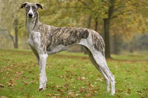 LA-6079 Dog - Hungarian Greyhound. Also known as Magyar Agar