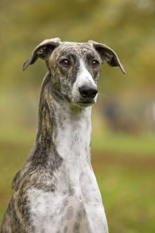 LA-6080 Dog - Hungarian Greyhound. Also known as Magyar Agar