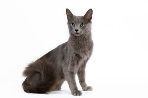 <b>Nebelung</b><br>Selection of 44 items
