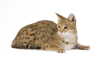 LA-6106 Cat - Savannah Brown Tabby - lying down