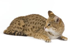 LA-6108 Cat - Savannah Brown Tabby - lying down