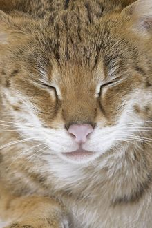 LA-6110 Cat - Savannah Brown Tabby - with closed eyes