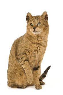 LA-6113 Cat - Chausie Brown Spotted Tabby: Jungle Cat (Felis chaus) crossed with