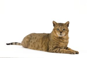 LA-6114 Cat - Chausie Brown Spotted Tabby: Jungle Cat (Felis chaus) crossed with