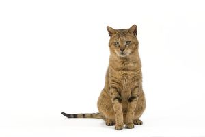 LA-6117 Cat - Chausie Brown Spotted Tabby: Jungle Cat (Felis chaus) crossed with