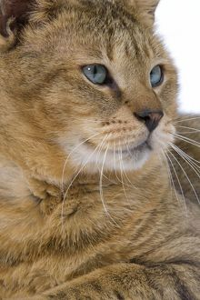 LA-6120 Cat - Chausie Brown Spotted Tabby: Jungle Cat (Felis chaus) crossed with