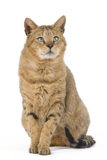 LA-6121 Cat - Chausie Brown Spotted Tabby: Jungle Cat (Felis chaus) crossed with