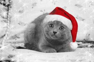 LA-6146-M Cat - Chartreux kitten wearing Christmas hat