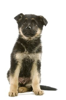 LA-6351 Dog - German Shepherd / Alsatian puppy in studio