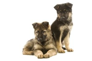 la 6352 dog german shepherd alsatian puppies