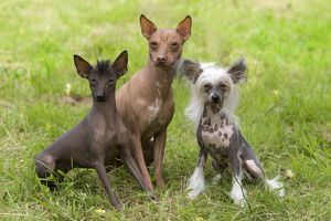 LA-6382 Dog - Peruvian Hairless, Mexican Hairless & Chinese Crested