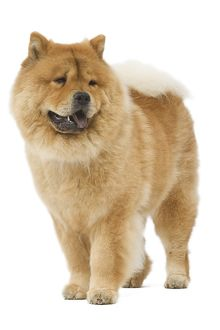 LA-6405 Dog - Chow chow - in studio