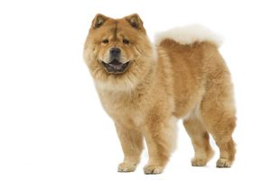 LA-6406 Dog - Chow chow - in studio