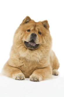 LA-6407 Dog - Chow chow - in studio