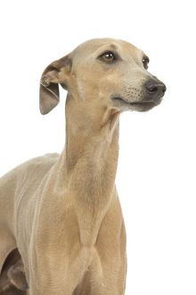 LA-6413 Dog - Small Italian Greyhound - in studio