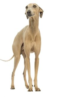 LA-6414 Dog - Small Italian Greyhound - in studio