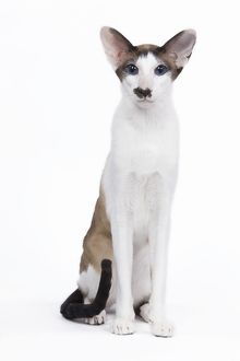 LA-6446 Siamese Cat - seal point & white with 'moustache'