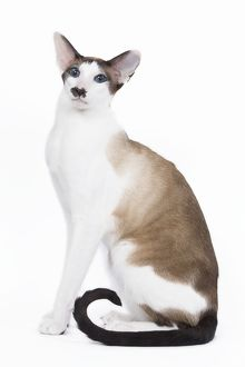 LA-6447 Siamese Cat - seal point & white with 'moustache'