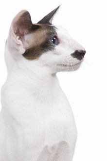LA-6448 Siamese Cat - seal point & white with 'moustache'