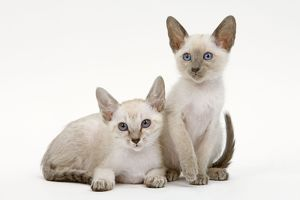 LA-6505 Cat - Siamese - two kittens in studio