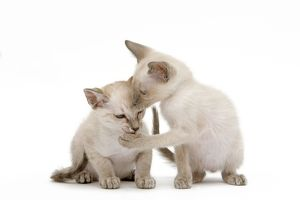 LA-6506 Cat - Siamese - two kittens in studio grooming each other