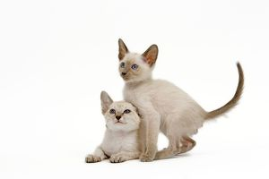 LA-6507 Cat - Siamese - two kittens in studio