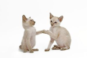 LA-6509 Cat - Siamese - two kittens in studio play fighting